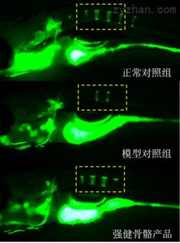 利用斑马鱼模型评价强健骨骼功效