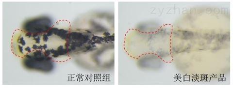 利用斑马鱼模型评价美白淡斑功效