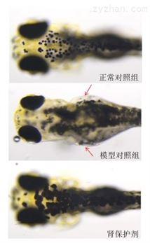 利用斑马鱼模型评价保护肾脏功效